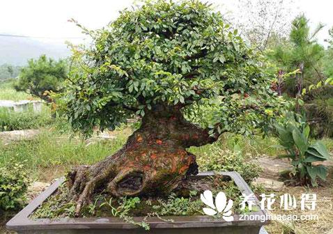 榆树盆景叶不长的原因是什么