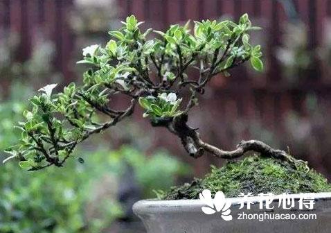 怎么把小树苗做成一盆有观赏性的盆景