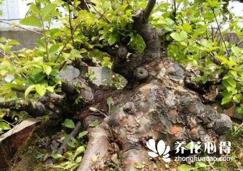 杂木类盆景中间小两头粗该如何处理