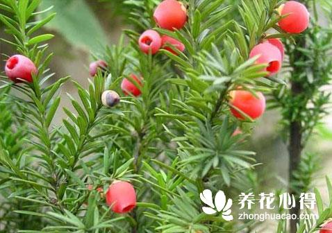 红豆杉盆景该怎么养
